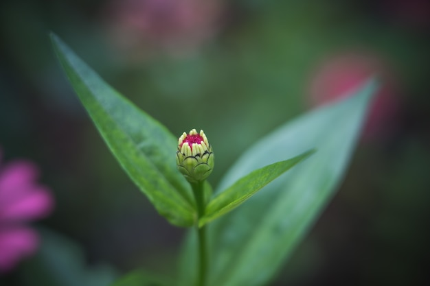ํyoung common zinnia (zinnia elegans) in garden with space for putting text Premium Photo
