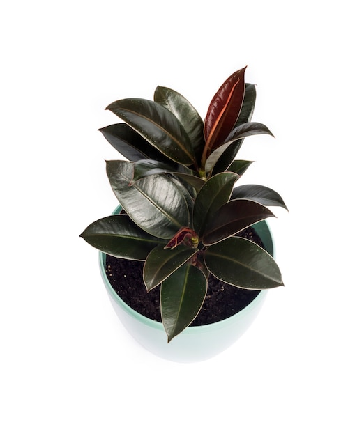 Young ficus melany - one of the varieties of ficus elastica Premium Photo