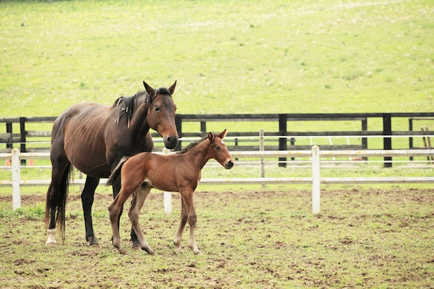 Young foal with his mother in a field in spring Premium Photo