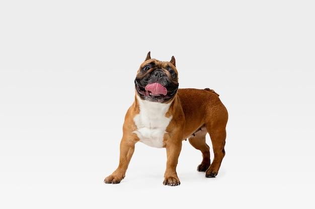 젊은 프랑스 불독 포즈입니다. 귀여운 화이트 브라운 강아지 또는 애완 동물은 재생 및 흰 벽에 고립 된 행복을 찾고 있습니다. 움직임, 움직임, 행동의 개념. 부정적인 공간. 무료 사진