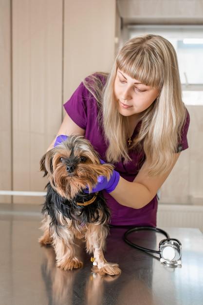병원에서 어린 소녀 수의사 청진 개 품종 요크셔 테리어와 검사합니다. 프리미엄 사진