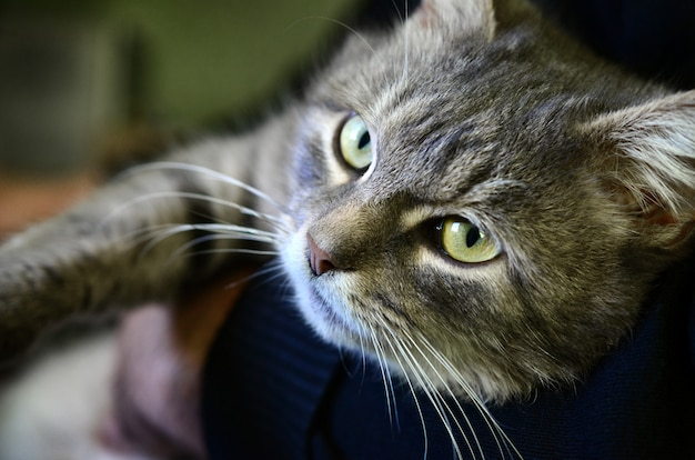 A young gray cat lies on the hands of its owner. the pet is resting Premium Photo