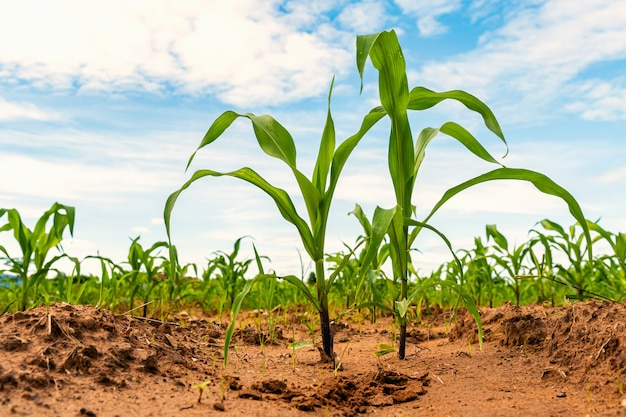 Young green corn in farm agriculture Premium Photo