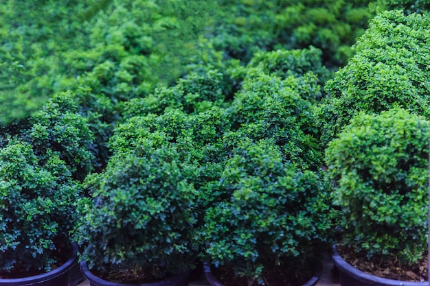 Young green dwarf bonsai trees and shrubs in pots for ornamental garden Premium Photo