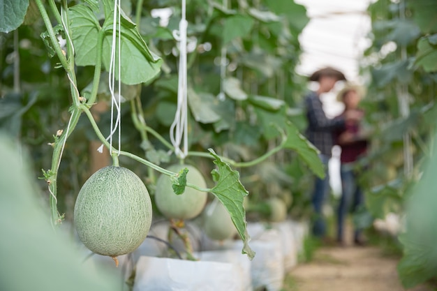 Young green melon or cantaloupe growing in the greenhouse Free Photo