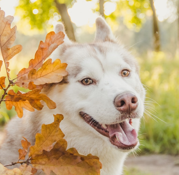 Young husky dog in park in autumn Premium Photo