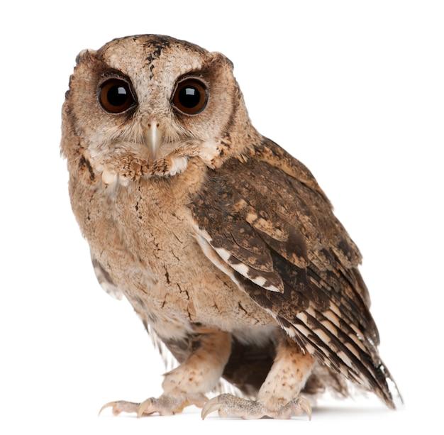 Young indian scops owl, otus bakkamoena, on white isolated Premium Photo