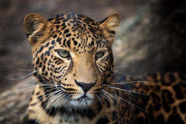 Young leopard portrait Free Photo