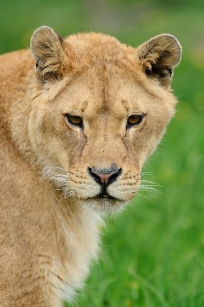 Giovane leone in erba verde Foto Gratuite