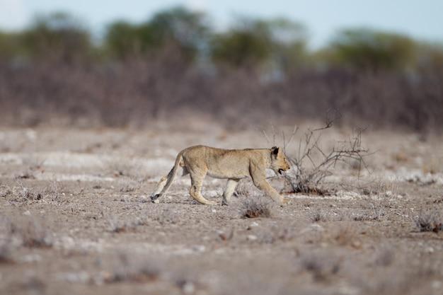 Giovane leone che cammina nel campo della savana Foto Gratuite