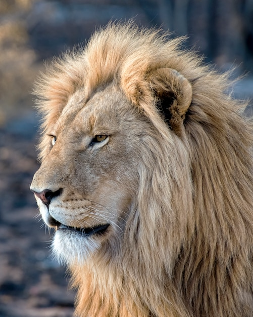 Young male lion in profile in south africa Premium Photo