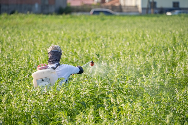 A young man farmer spraying pesticides (farm chemicals) on his own sesame field Premium Photo