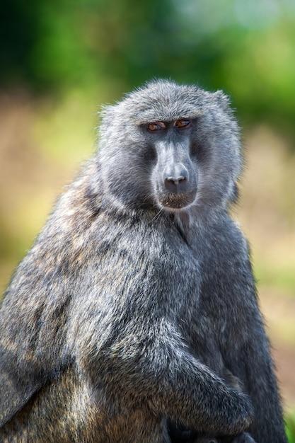 アフリカ、ケニアの国立公園の若いアヌビスヒヒ 無料写真