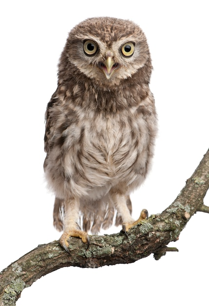 Young owl perching on branch on white isolated Premium Photo