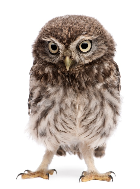 Young owl standing on white isolated Premium Photo