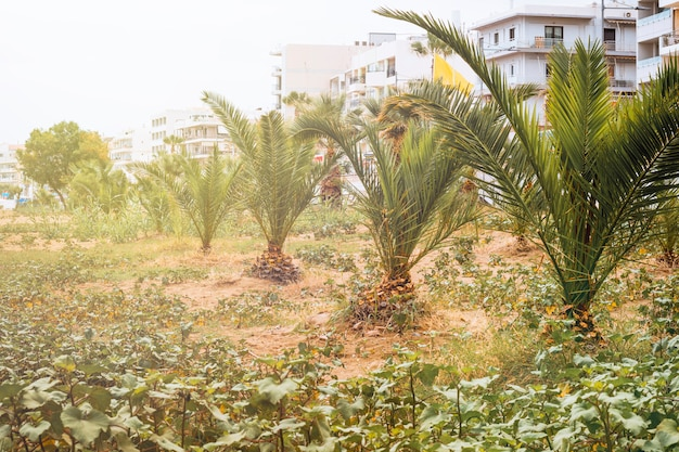 Young planted palm trees along the road Premium Photo