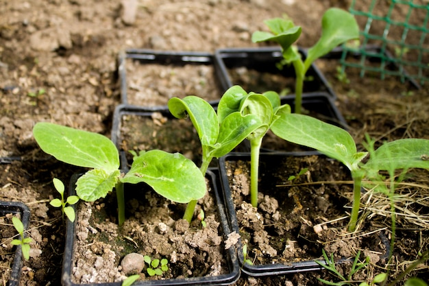 Young plants of zucchini leaves in the greenhouse Premium Photo