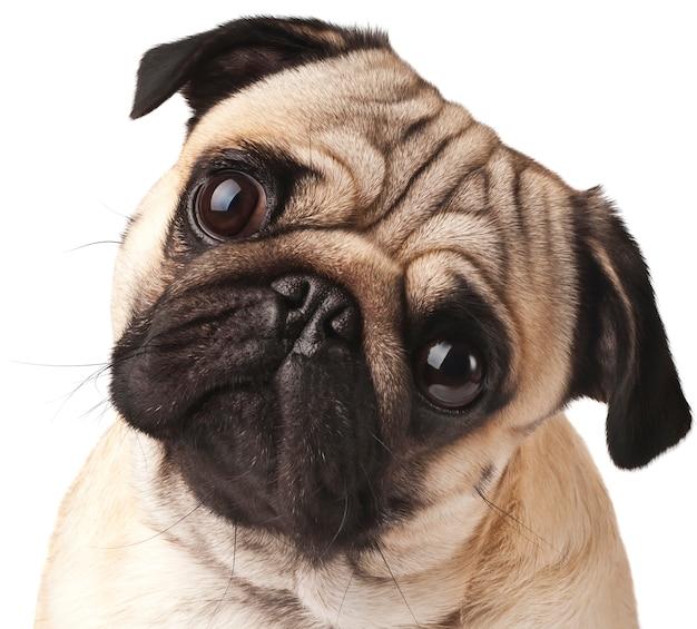 Young pug close-up Premium Photo