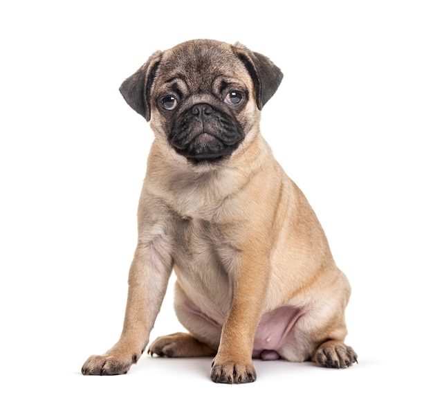 Young pug, puppy, sitting, isolated on white Premium Photo