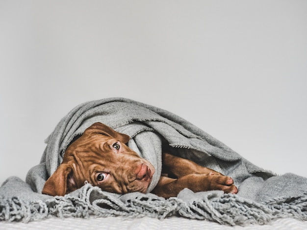Young puppy, wrapped in a gray scarf Premium Photo