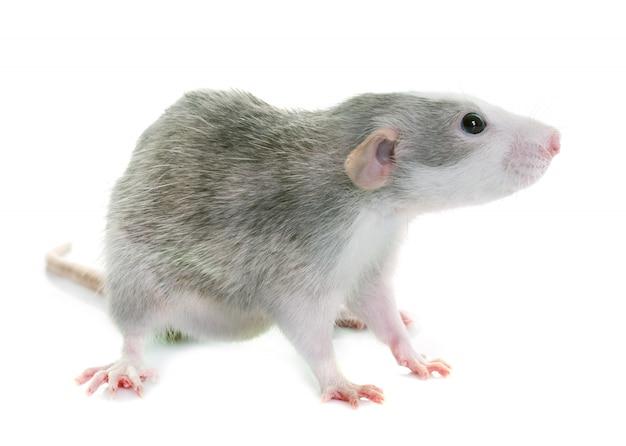 Young rat bicolor Premium Photo