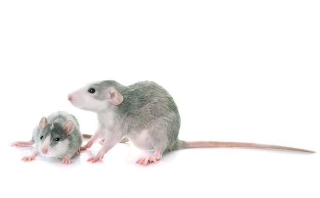 Young rats bicolor Premium Photo
