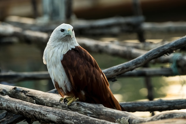 Young red-backed sea-eagle or brahminy kite. Premium Photo