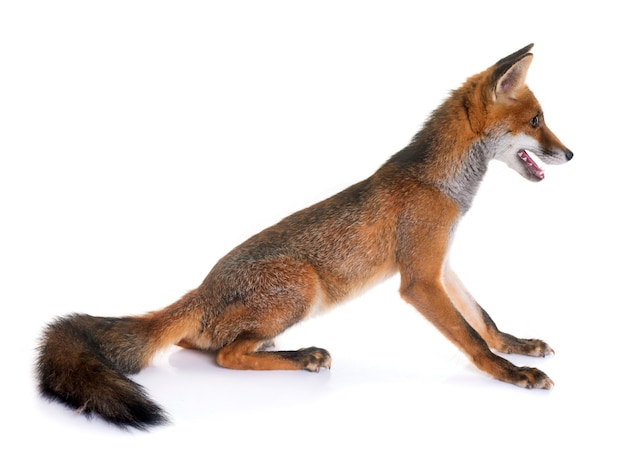 Young red fox Premium Photo