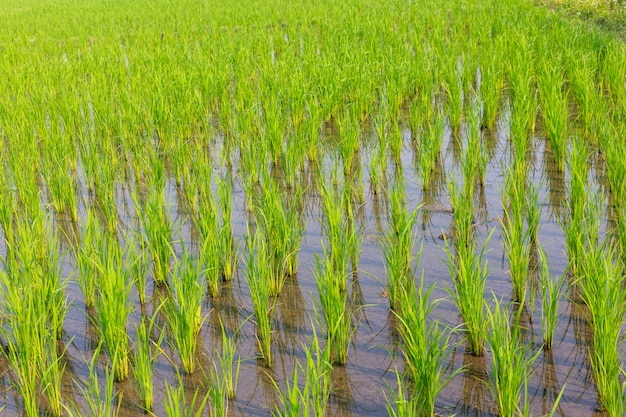 Young rice growing in the paddy field Free Photo