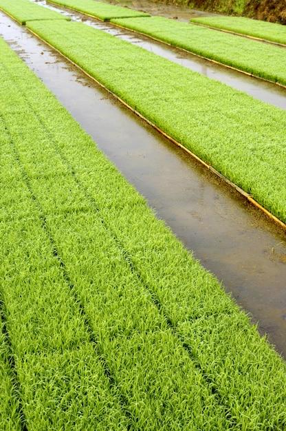 벼 분야의 가장자리에 쟁반에서 자라는 심기 준비가 된 젊은 쌀 식물 묘목 무료 사진