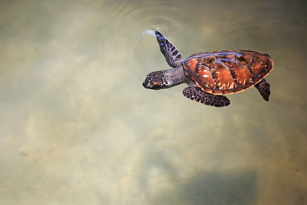 Young sea turtle swimming in nursery pool at breeding center. Premium Photo