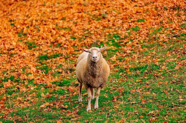 Young sheep and yellow leaves on green grass Premium Photo
