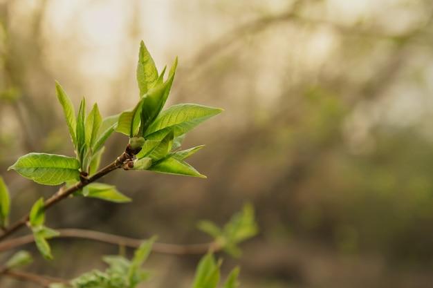 若い春の葉の枝コピースペース。腎臓が咲く。 Premium写真