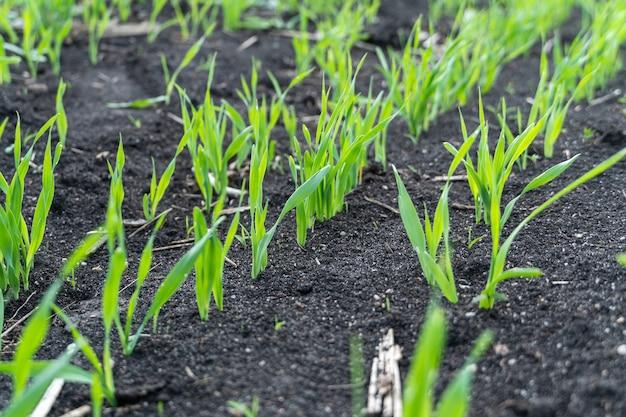 필드에서 성장하는 젊은 밀 모종. 토양에서 자라는 젊은 녹색 밀. 프리미엄 사진