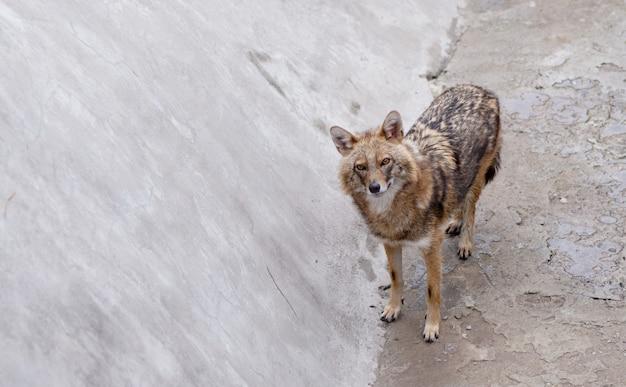 Молодой волк Premium Фотографии