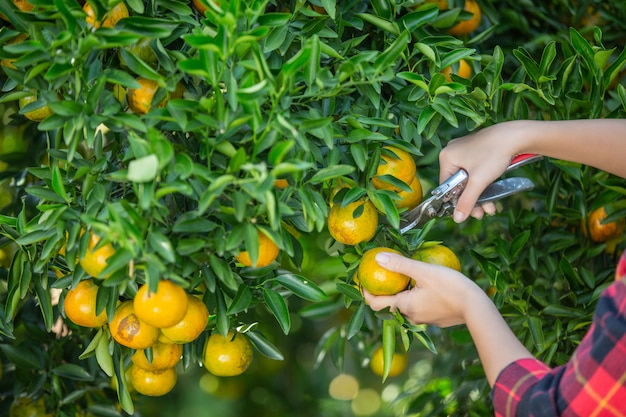 Young woman in the garden harvest orange in the garden. Free Photo