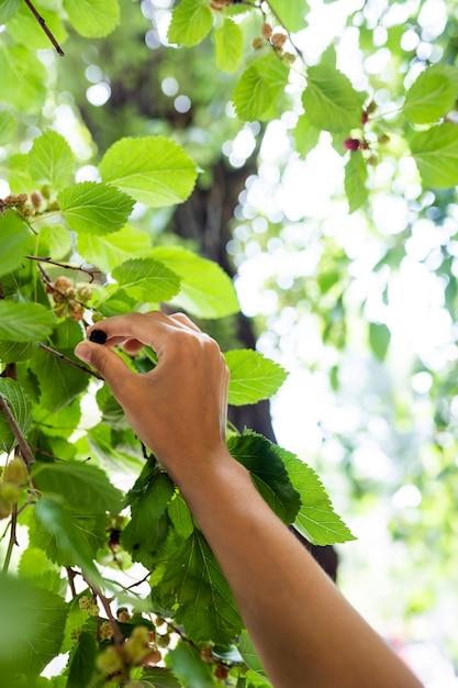 Молодая женщина срывает шелковицу с дерева. Бесплатные Фотографии