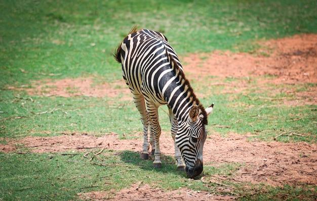 Zebra african plains graze grass at national park Premium Photo