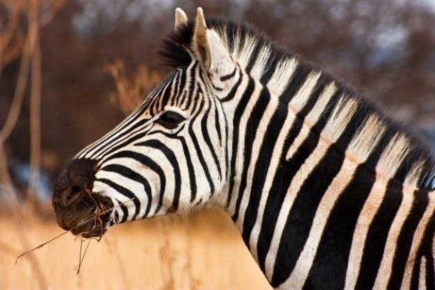 Zebra close up photo free download - Cuadros de cebras ...