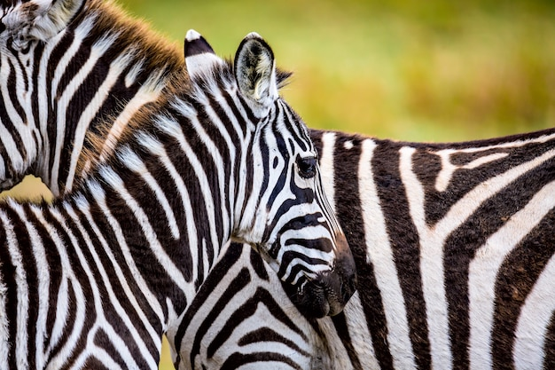 アフリカのサバンナのシマウマのカップル Premium写真