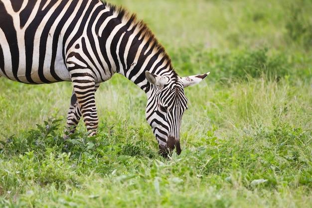 ケニアのツァボイースト国立公園の草を食べているシマウマ 無料写真