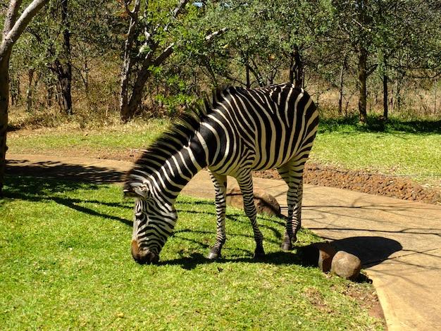 Zebra in the hotel, victoria falls, zambia Premium Photo