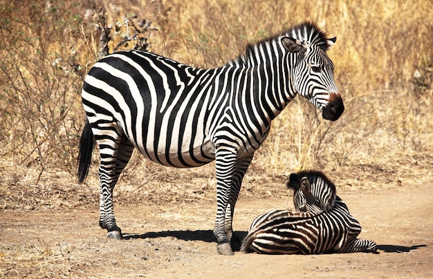 Zebra mother and baby Premium Photo
