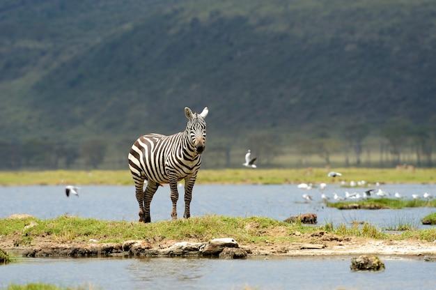 Zebra nel parco nazionale Foto Gratuite