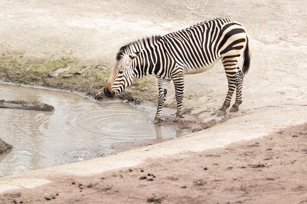 Zebra near a dirty lake under the sunlight Free Photo