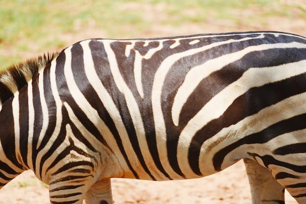 Zebra pattern real zebra african plains graze grass field in the national park Premium Photo