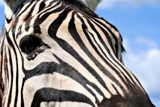 Zebra profile  cyan Free Photo