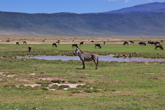Zebra on safari in kenia and tanzania, africa Premium Photo