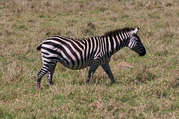 Zebra on safari in kenia and tanzania, africa Premium Photo