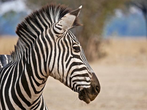 Zebra in south luangwa national park,  zambia Premium Photo